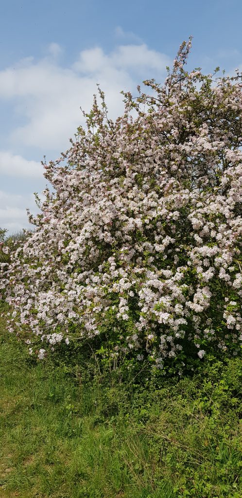 A large bush of very pale pink blossom.